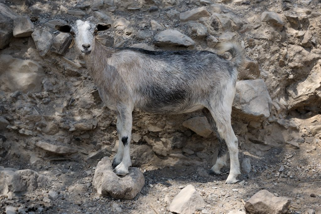 Goats in the mountain of Oman