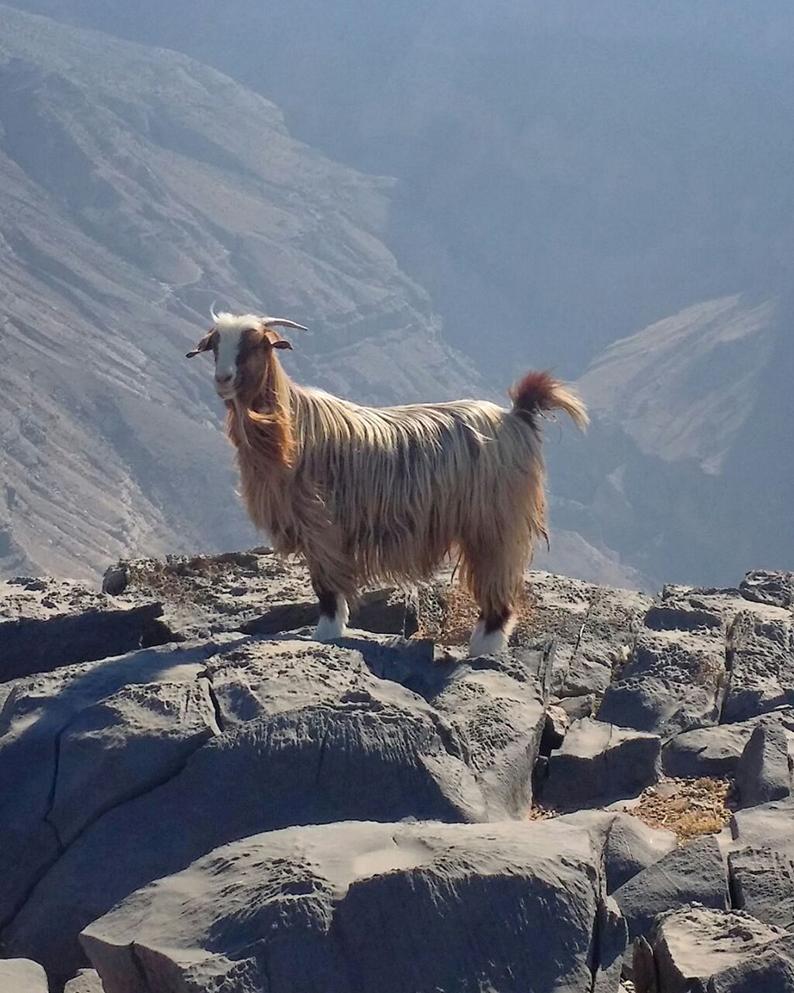 Oman Jabal Sham Goat
