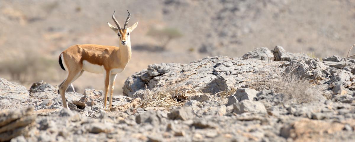 wild arabian gazelle