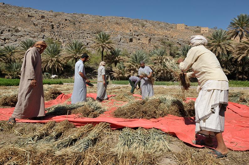 Omani farmers