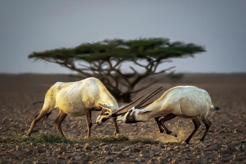 Oryx reserve