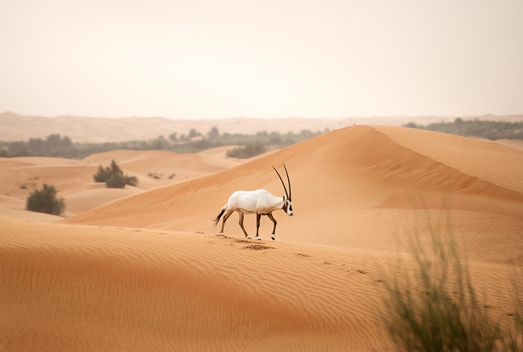 Oryx roaming free in the desert
