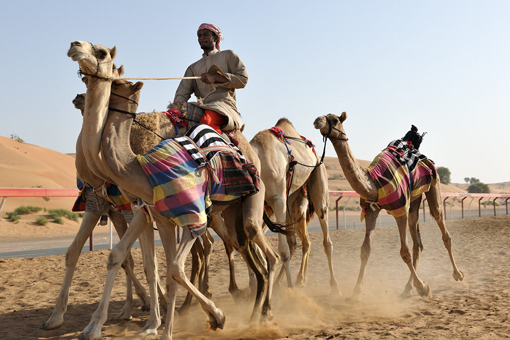 Camels training at the track