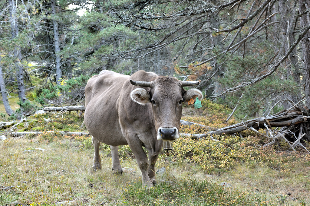 cow alpine pasture